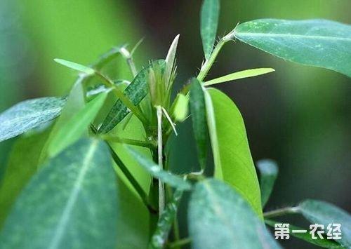 奇特植物跳舞草的养护方法图片