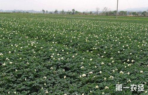 土豆大种植技术简介