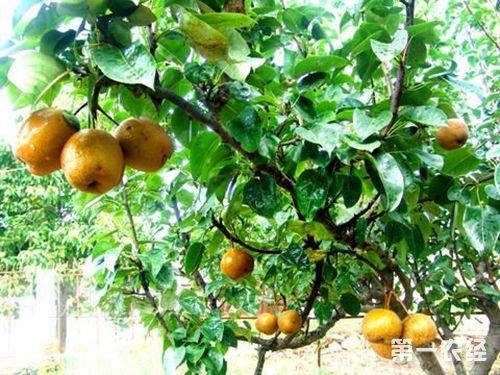 福建漳州特产水果:平和棕包梨