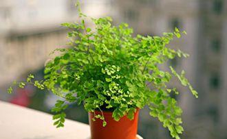 常见室内植物---铁线蕨的养殖方法简介