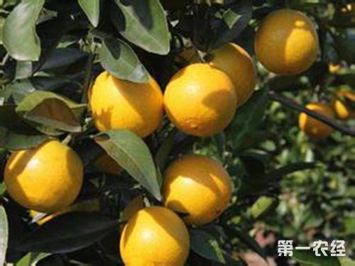 广西特产:鹿寨蜜橙