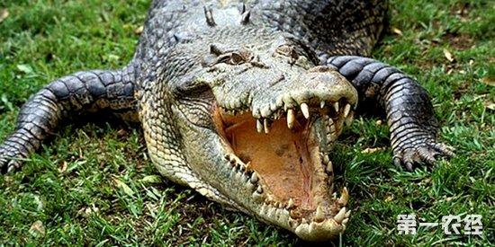 鳄鱼主要的食物是鱼和蛙类等小动物