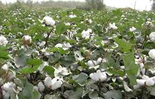 棉花收购价格下跌 部分棉农弃棉