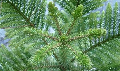 南洋杉种植技术以及注意要点简介