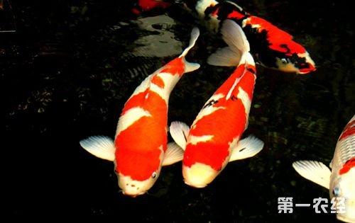 锦鲤鱼感染白点病的原因以及防治?