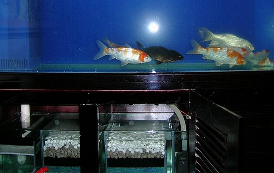 <b>锦鲤水质处理教学</b>