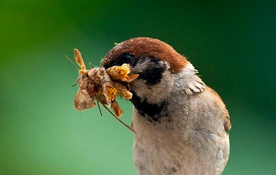 麻雀吃什么?