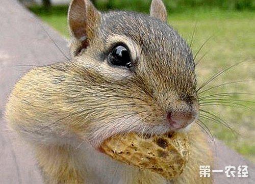 松鼠吃什么