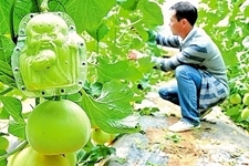"""河南内黄县""""造型""""甜瓜经济价值翻十几倍"""