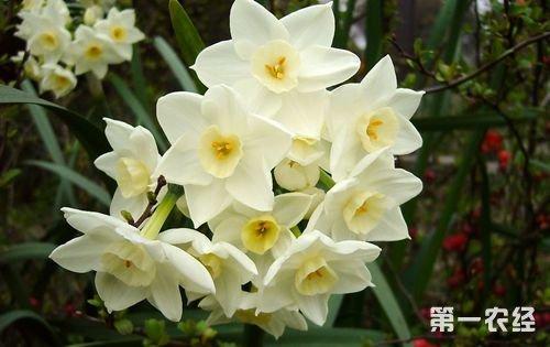 水仙花疾病--褐斑病发生原因以及防治