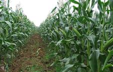 我国西南地区玉米种植应因地制宜