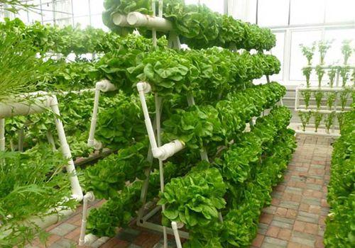 无土基质栽培的蔬菜:土豆