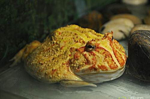黄金角蛙寿命是多长?