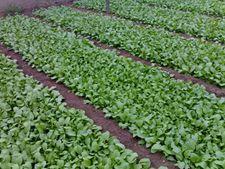 小白菜种植技术大全