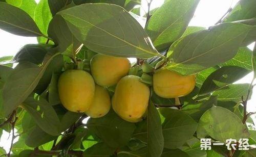 分享:夏季柿树防治落花落果管理技术