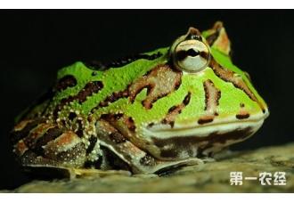 霸王角蛙寿命是多长?