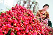 山东烟台等地大棚樱桃上市 市民年消费70万斤