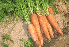 胡萝卜种植技术【图片】