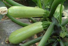 西葫芦种植管理技术【图片】