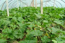 西葫芦种植技术视频