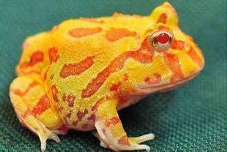 黄金角蛙价格