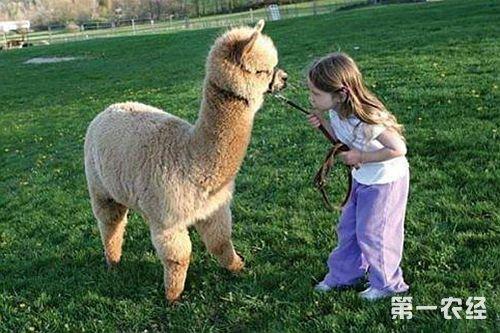 日本是世界上最大的羊驼毛消费国