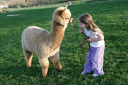 养羊驼赚钱吗?