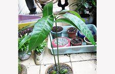 芒果盆栽怎么用芒果果核种植?