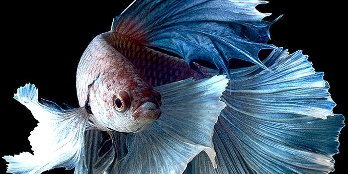 泰国斗鱼怎么养?