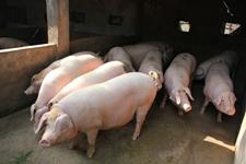 2015年我国生猪产业养殖补贴政策