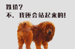 藏獒养殖技术大全 藏獒前景分析与视频分享