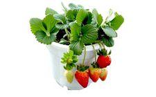闲置阳台:盆栽草莓种植技术