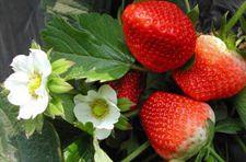 草莓种植分享:草莓种植季节