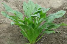 菠菜种植时间以及种植技术