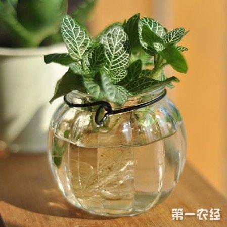 盆栽薄荷种植技术