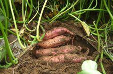 地瓜种植技术以及管理分享