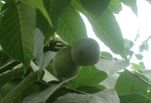 麻核桃生长环境,种植方法,管理技术简介