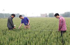 安徽省农气中心开展小麦产量结构调查