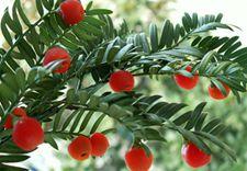 简介红豆杉种植环境