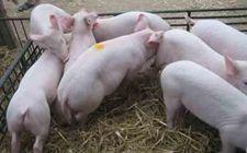 2015年5月11日黑龙江今日仔猪价格