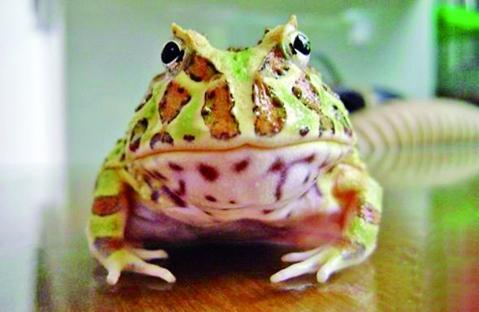 南美角蛙怎么养?