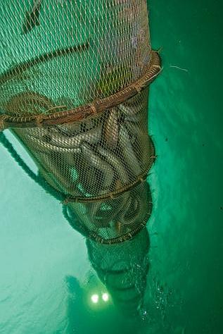 似蛇非蛇 鳗鲡养殖寻商机