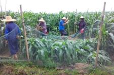 广东阳江市多措施抢救国家玉米区受灾玉米