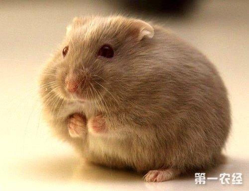 仓鼠的生活习性