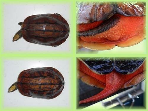 乌龟公母怎么分图片