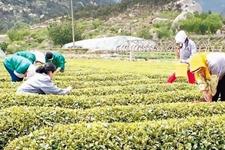 山东青岛崂山茶品种少产量低 已进入采摘旺季