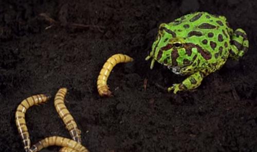养角蛙视频