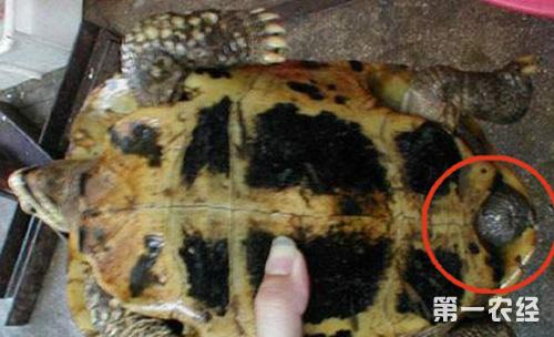 乌龟怎么分公母?