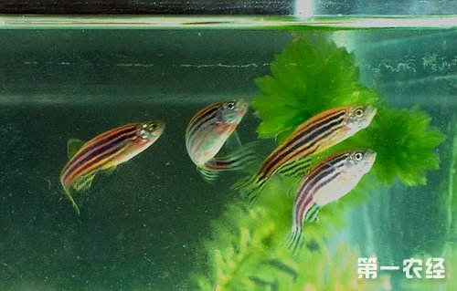 家庭怎样养金鱼视频_斑马鱼怎么养? - 养殖技术 - 第一农经网