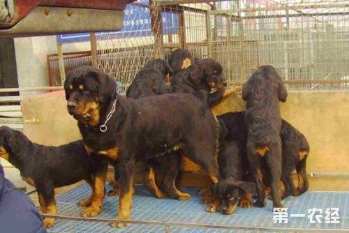 肉狗的常见疾病防治